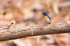 Tickell` s Blauwe Vliegenvanger Royalty-vrije Stock Afbeeldingen