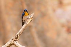 Tickell` s Blauwe Vliegenvanger Stock Foto