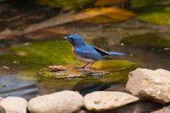 Tickell` s Blauwe Vliegenvanger Stock Afbeeldingen