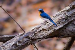 Tickell` s Blauwe Vliegenvanger Stock Foto's