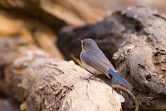 Tickell` s Blauwe Vliegenvanger Royalty-vrije Stock Foto's