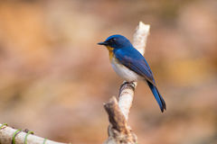 Tickell` s Blauwe Vliegenvanger Royalty-vrije Stock Fotografie