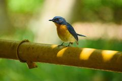 Tickell& x27;s blue fly catcher stock image