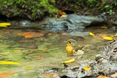 A Tickell`s blue flycatcher bathing in a pond royalty free stock image