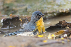 Tickell's blue flycatcher bird Royalty Free Stock Photo