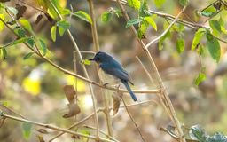 Tickell`s blue flycatcher bird in a forest near Indore, India. Tickell`s blue flycatcher bird in morning light of a forest near Indore, India Stock Images