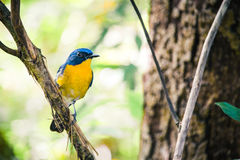 A Tickell`s Blue Flycatcher Cyornis tickellae sits perched on Royalty Free Stock Photos