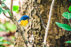 A Tickell`s Blue Flycatcher Cyornis tickellae sits perched on Stock Photos