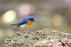 Tickell's Blue Flycatcher Stock Photo