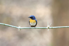 Tickell's Blue Flycatcher Cyornis tickelliae male Stock Photos