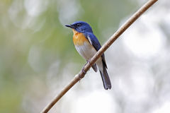 Tickell's Blue Flycatcher Cyornis tickelliae Male Birds of Thailand Stock Images