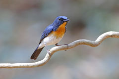 Tickell's Blue Flycatcher Cyornis tickelliae Male Birds of Thailand Royalty Free Stock Photo