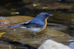 Tickell`s Blue Flycatcher Cyornis tickelliae Male Birds in the Water Stock Image