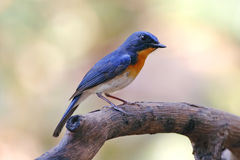 Tickell`s Blue Flycatcher Cyornis tickelliae Male Cute Birds of Thailand Royalty Free Stock Photo
