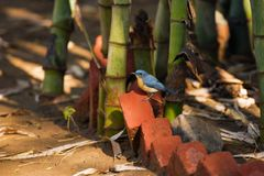 Tickell`s blue flycatcher, Cyornis tickelliae, Ranthambore national park, Rajasthan, India.  stock images