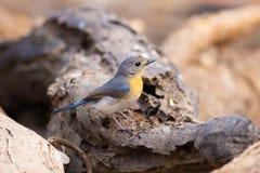 Tickell`s Blue Flycatcher stock image