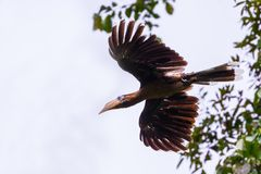 Tickell's brown hornbill Royalty Free Stock Image