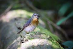 Tickells blauer Flycatcher Lizenzfreie Stockfotografie