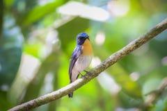 Tickells blauer Flycatcher Stockfotos