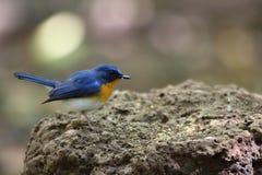 Tickells blauer Flycatcher Stockbilder