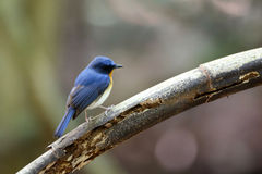 Tickells blauer Flycatcher Stockbild