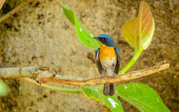 Small blue and orange bird with green leaves (Tickells blue flycatcher). Tickells blue flycatcher (Cyornis tickelliae) at Bandhavgarh National Park, India Stock Photography
