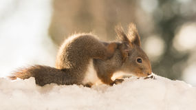 Tickle and scratch. Profile and close up of red squirrel standing on snow Royalty Free Stock Photos
