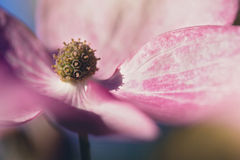 Tickled Rosa Stockbilder