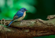 Tickles blue fly catcher. From coonoor Royalty Free Stock Images