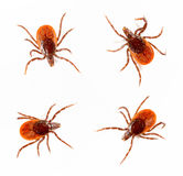 Ticks. Isolated over white background. Tick is the common name for the small arachnids  in superfamily Ixodoidea that, along with other mites, constitute the Royalty Free Stock Image