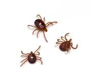 Ticks. Lone Star Tick (Amblyomma americanum) on a white background Stock Photos