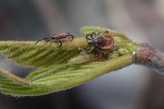 Ticks. European ticks waiting for a host Stock Photo