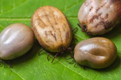 Ticks filled with blood sit on a green leaf Royalty Free Stock Images