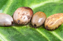 Ticks filled with blood sit on a green leaf Stock Image