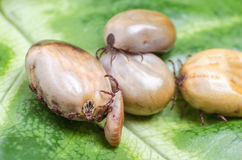 Ticks filled with blood sit on a green leaf Stock Photography