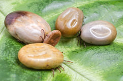 Ticks filled with blood sit on a green leaf Royalty Free Stock Photography