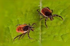 Ticks on leaf. Two ticks on leaf. Macro Stock Images