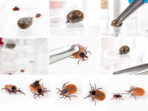 Ticks Royalty Free Stock Photos