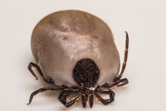 Tick on white background. Ticks spread many diseases including Lyme disease borreliosis and Rocky Mountain Spotted Fever RMSF to human and pets stock image