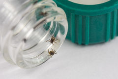 Ticks on vial. Detail of ticks in test tube. Laboratory testing royalty free stock photo