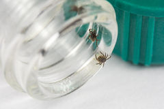 Ticks on vial. Detail of ticks in test tube. Laboratory testing royalty free stock image