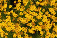 Tickseed - Coreopsis. A close up of some yellow tickseed stock images