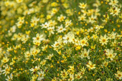 Tickseed Coreopsis Stock Photos