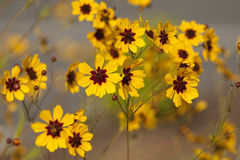 Tickseed dourado - tinctoria do Coreopsis Imagem de Stock Royalty Free