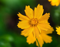 Tickseed flower (coreopsis auriculata Nana) Royalty Free Stock Photos