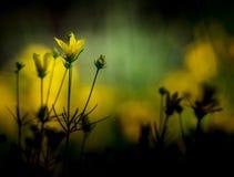 Tickseed guling fotografering för bildbyråer