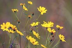Tickseed Sunflower, Bidens aristosa. Tickseed Sunflower blooms in autumn in Necedah National Wildlife Refuge in Wisconsin Royalty Free Stock Photo