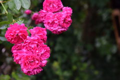 Tid av rosor Arkivbild