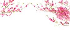 tid för fjäder för blomningCherrypersika Royaltyfri Fotografi