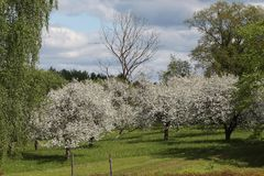 Tid för fruktträdgård på våren Fotografering för Bildbyråer